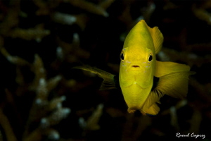 Small yellow face to face by Raoul Caprez 